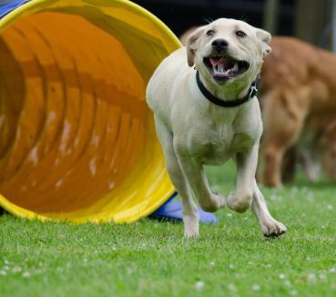Balance und Koordination für Welpen und Junghunde